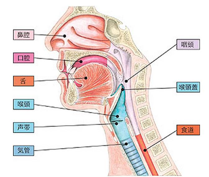 喉(図解)